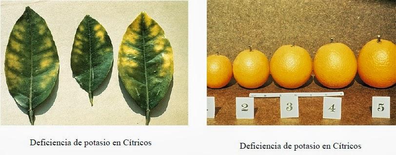 Funciones deficiencias y toxicidades de los principales for Potasio para plantas