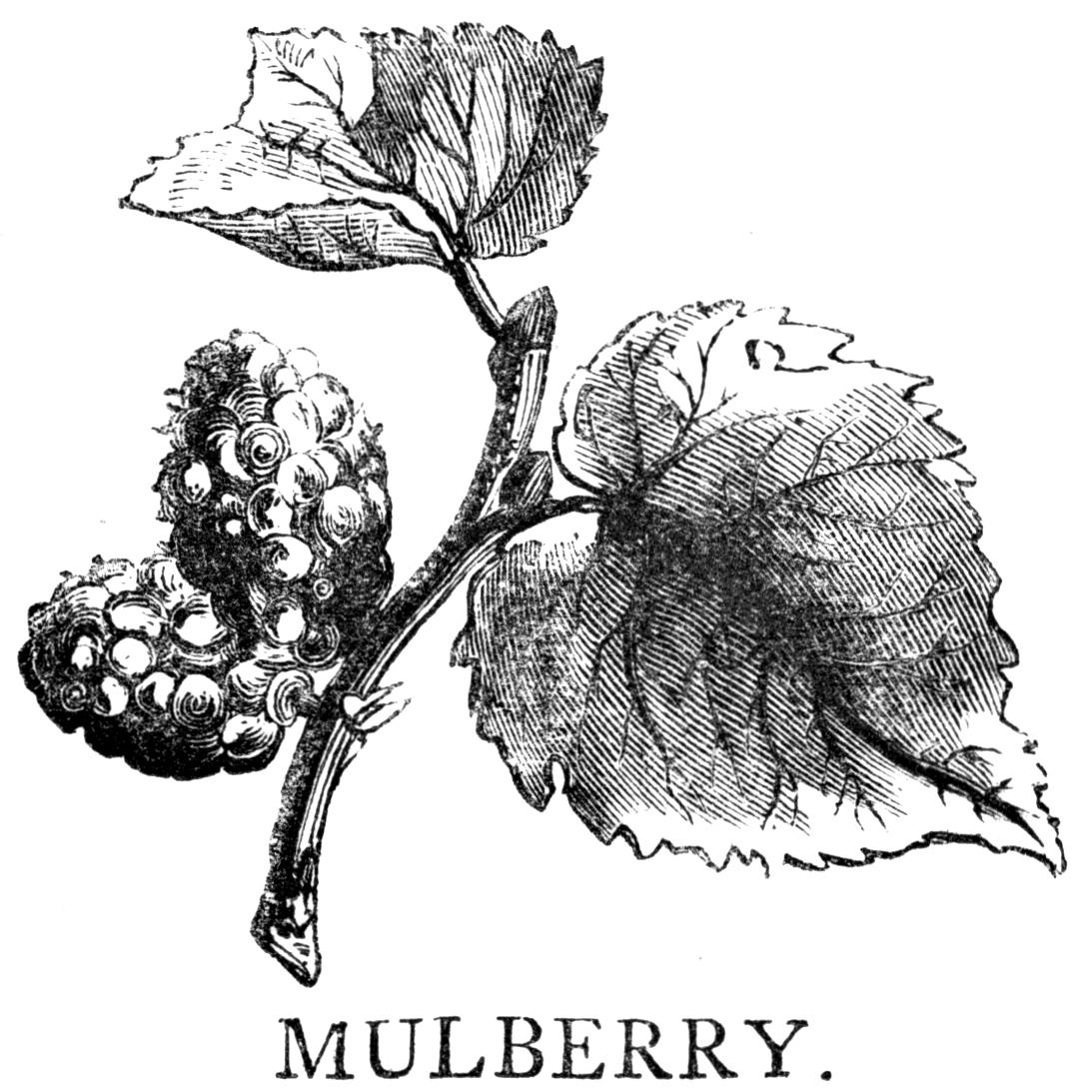 http://2.bp.blogspot.com/-aFehYQoJgf8/VLPiQC0FGaI/AAAAAAAAPbQ/hxUgNEuyrEw/s1600/mulberry.cv.jpg