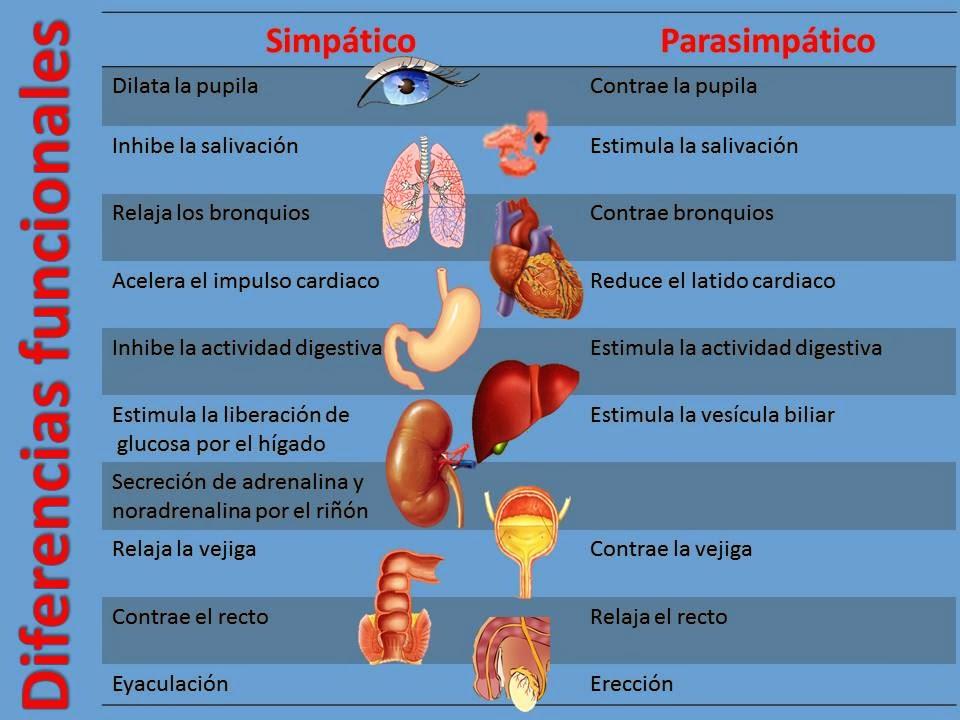 Diferencias anatómicas y funcionales del sistema nervioso simpático ...