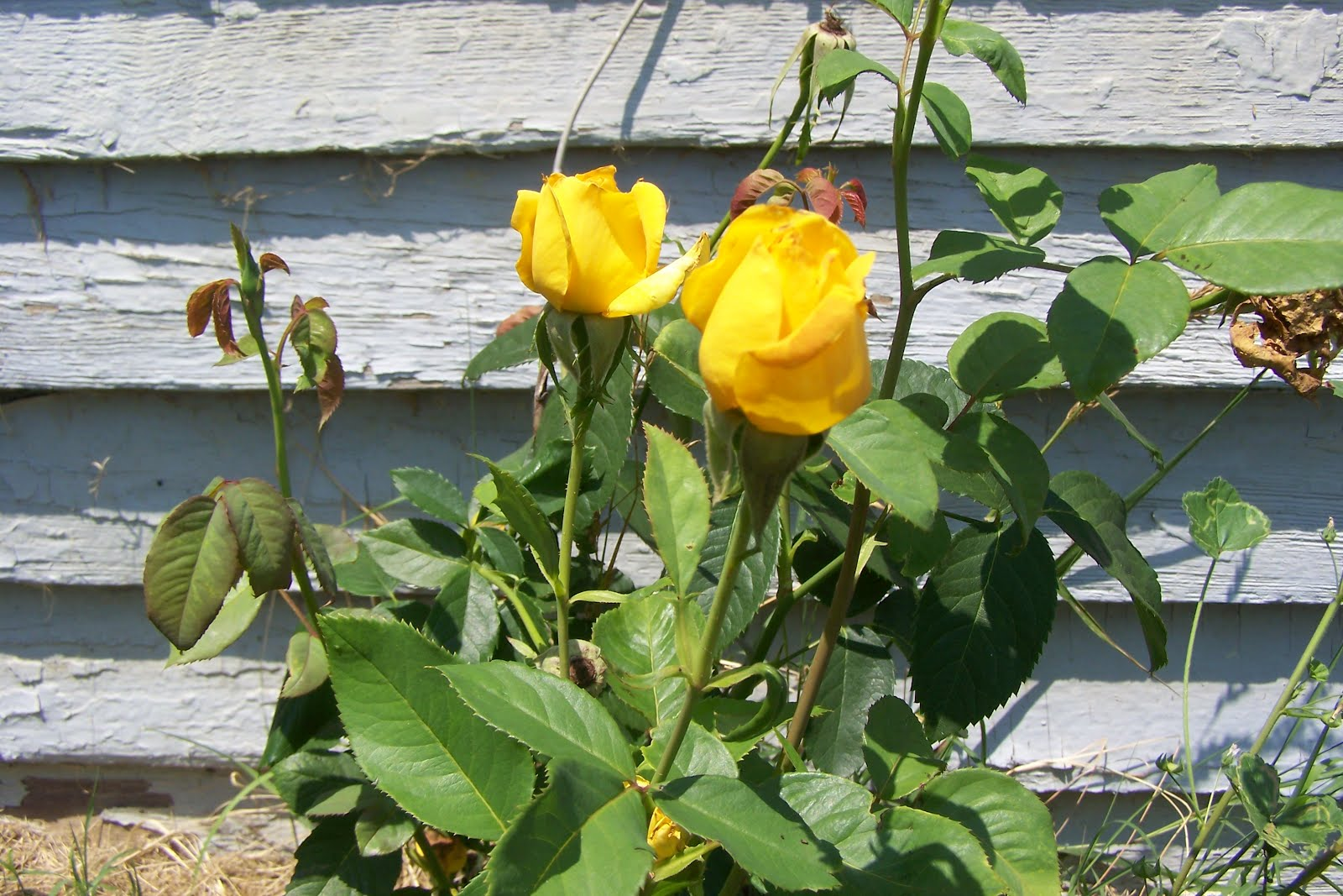 Yellow Rose Bush I love love love yellow roses Yellow Rose Bushes Types