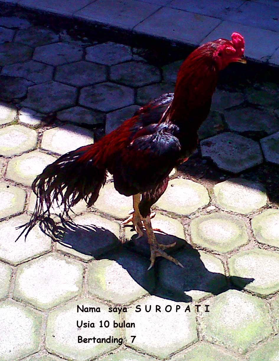 Jual Ayam Bangkok Breed GOOd Quality