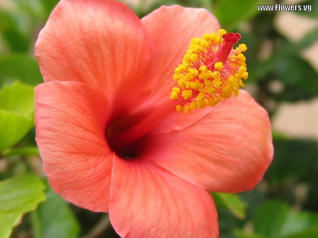 Flower Homes Hibiscus Flowers