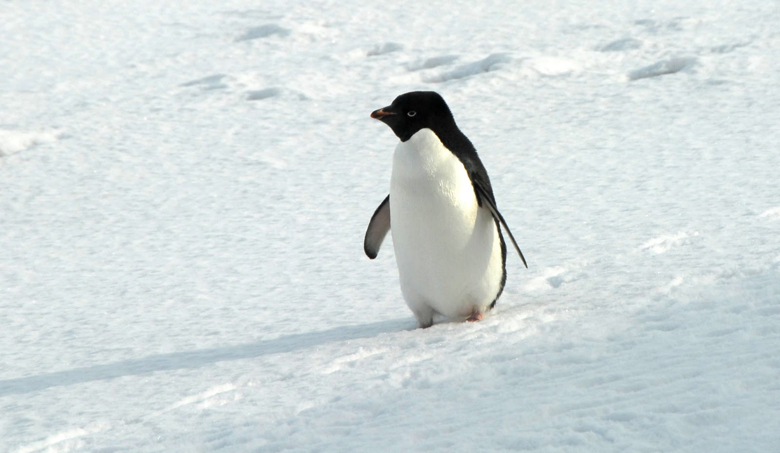 Images of adelie penguins - photo#4