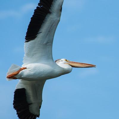 American White Pelican, Kountze Lake