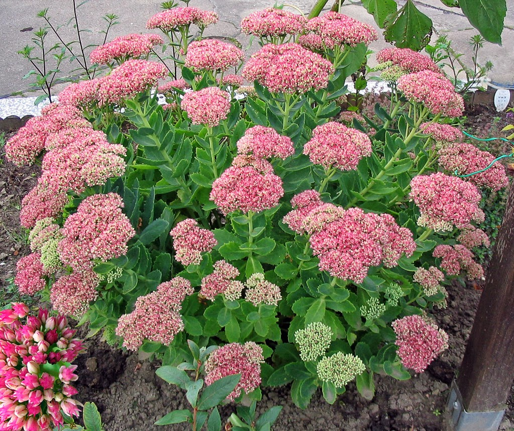 8 Hardy Dependable Everblooming Perennials