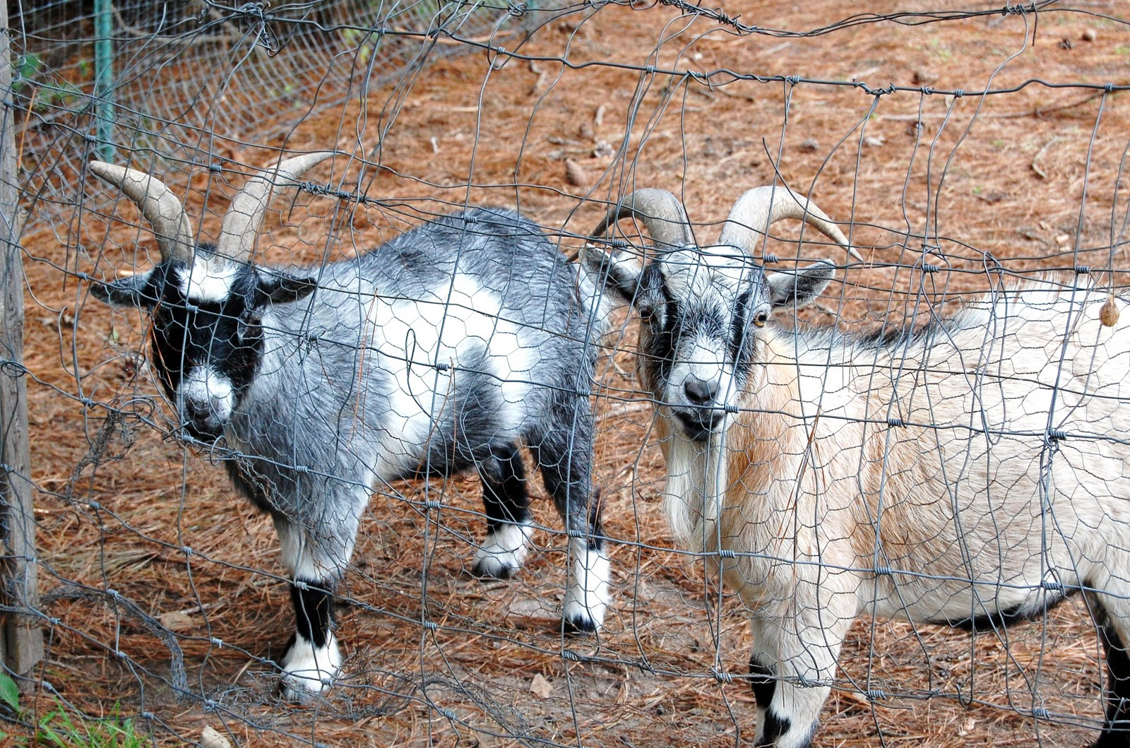 goats vs goats Boer goat prices are still relatively high but are approaching what you'd pay for a quality registered angora or registered dairy goat they are nowhere near the steep amounts paid during the winter and spring of 1994, when a bit of buying frenzy took hold of some goat breeders and exotics traders.