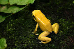 Terribilis-Männchen