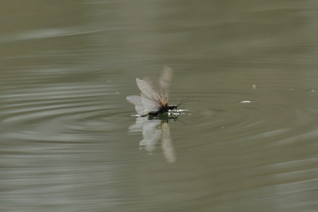 "winter stonefly ""water-skiing"""