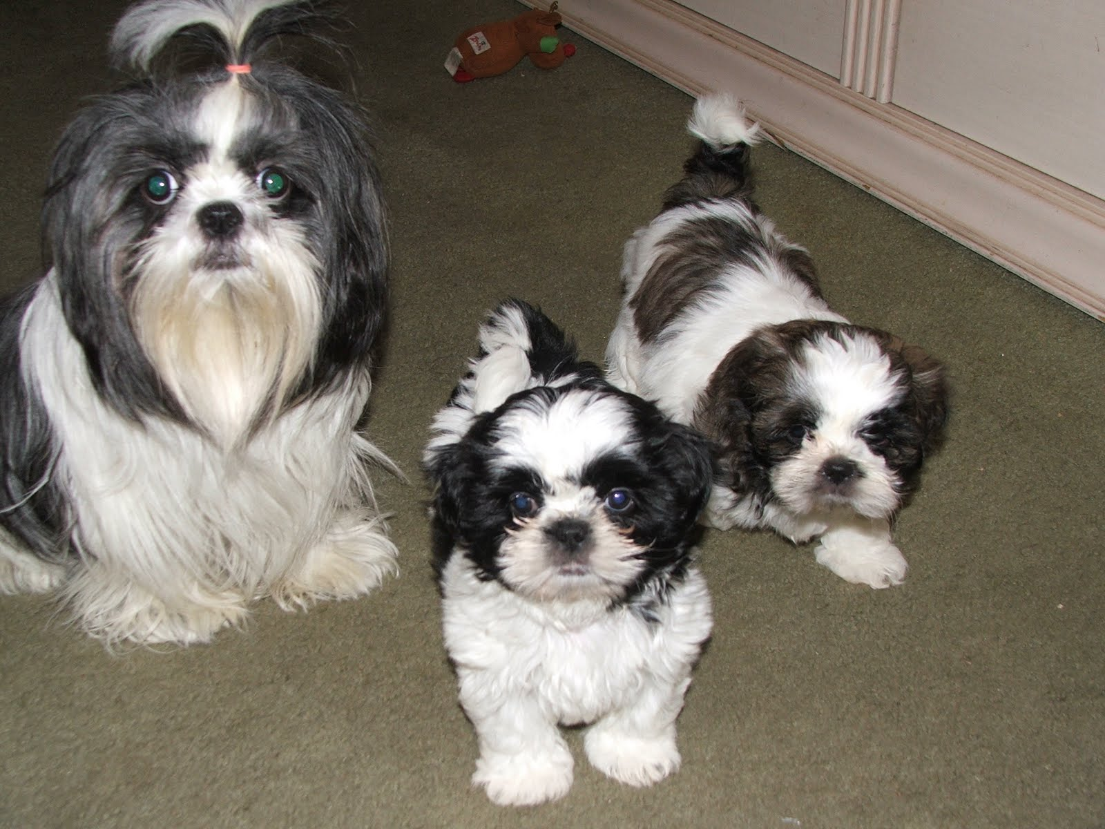 Shih tzu High Resolution cute puppies pictures | puppy ...