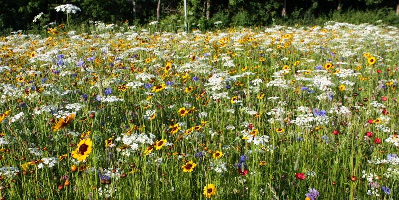 Blomstereng, græsser