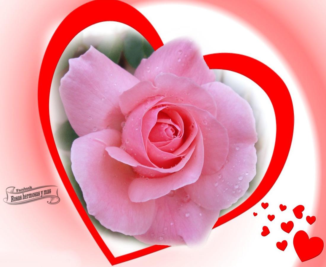 Imagenes de rosas hermosas - Rosas rosas hermosas ...