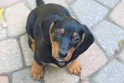 Adopt A Dachshund Puppy