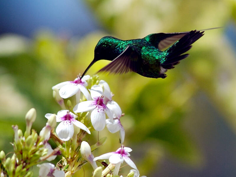Kicau Burung Burung Kolibri