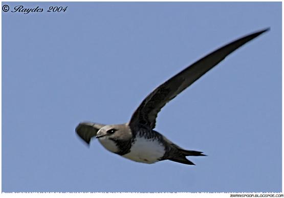 Burung Ini Boleh Terbang Selama 180 Hari Tanpa Henti