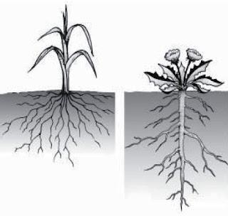 Sistem akar tunggang dan sistem akar serabut