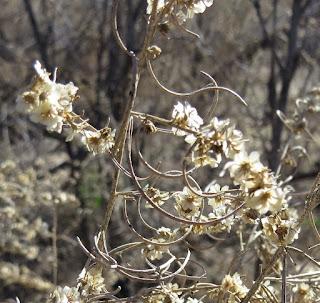 Ambrosia salsola, Burrobush
