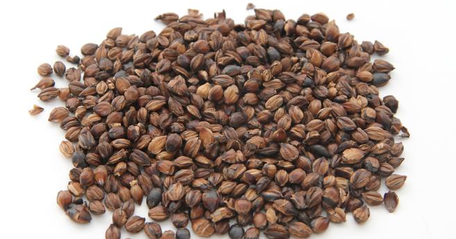 WELCOME: The Power of Mugicha (Japanese Barley Tea)