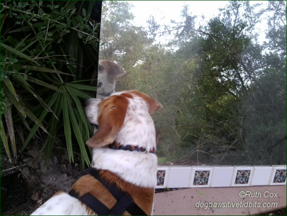 My dog Valentino looks for the dog in the mirror.
