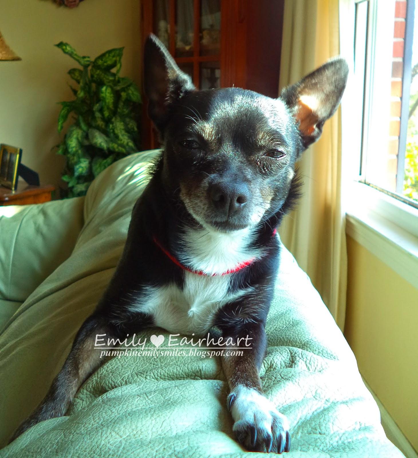 Minnie, Chihuahua