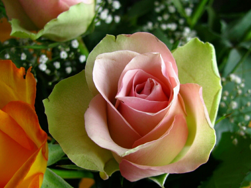 flowers for flower lovers.: flowers wallpapers hd rose.
