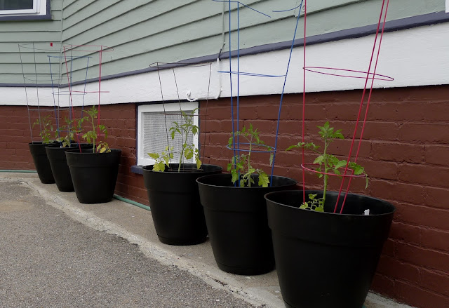 Tomatoes grown in containers