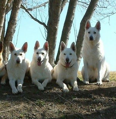 White Shepherd Dog Friendly Breeds