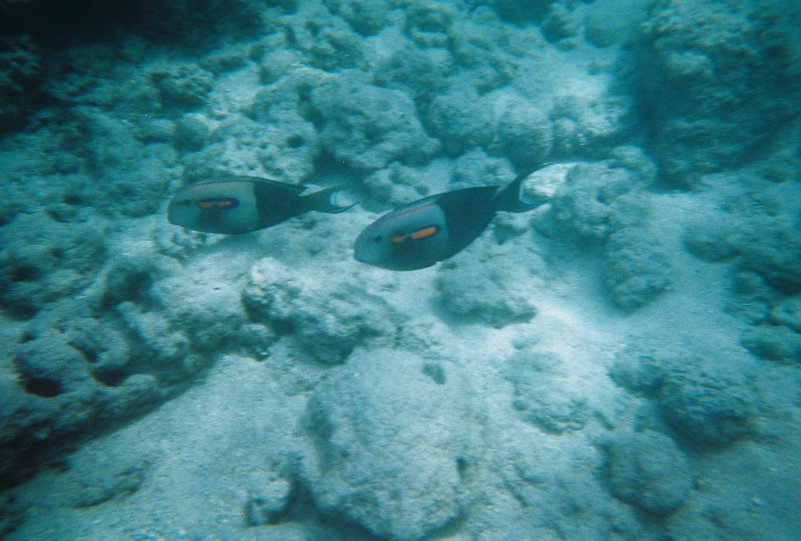 Hawaiian reef fish for Hawaii reef fish