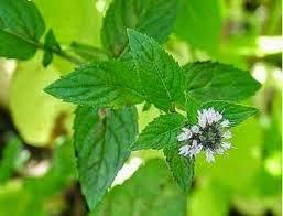 علاج مرض  القولون بالاعشاب نهائياً treatment colon by Herbal