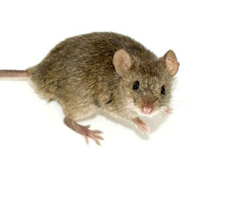 rodents, mice, rats, pest control, seattle wa, puget sound