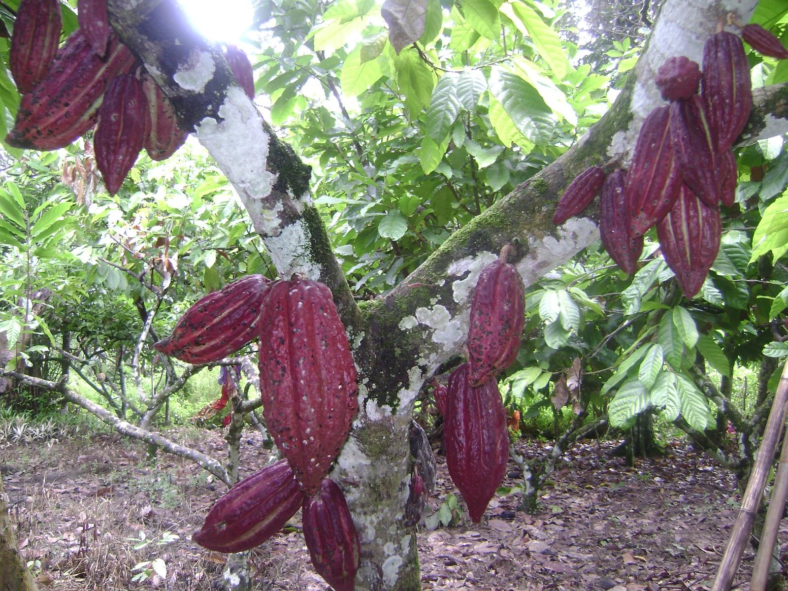 Cerita dari Lipis: Tanaman Koko: Pendapatan Sampingan  Cerita dari Lip...