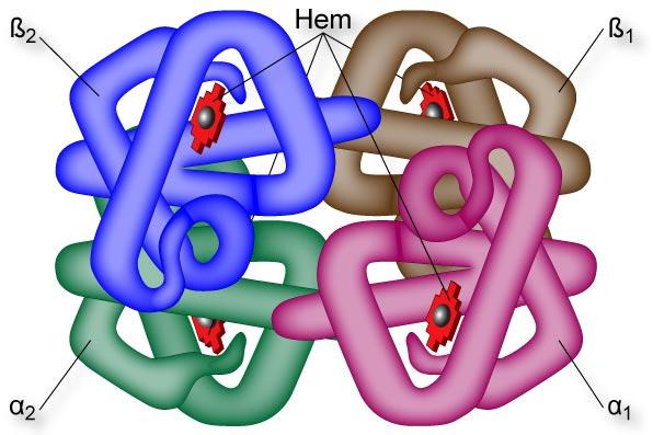 Hemoglobina Estrutura