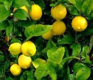 Manfaat lemon sebagai obat maag tradisional