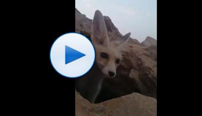 بالفيديو ثعلب ماكر يسرق جوال مواطن سعودي حاول تصويره بطريقة طريفة