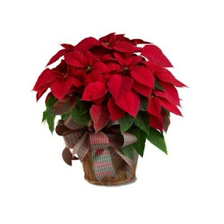 Order a Red Poisettia For Christmas