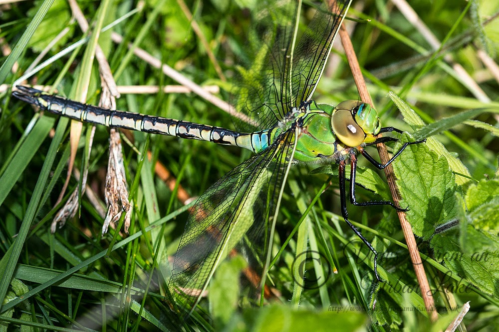 Emperor Dragonfly (Anax imperator) Photographed in Loughton Valley Park, Milton keynes (2014)