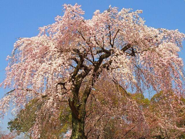 春爛漫、枝垂れ桜は威風堂々と花を咲かせ人々を楽しませていた。