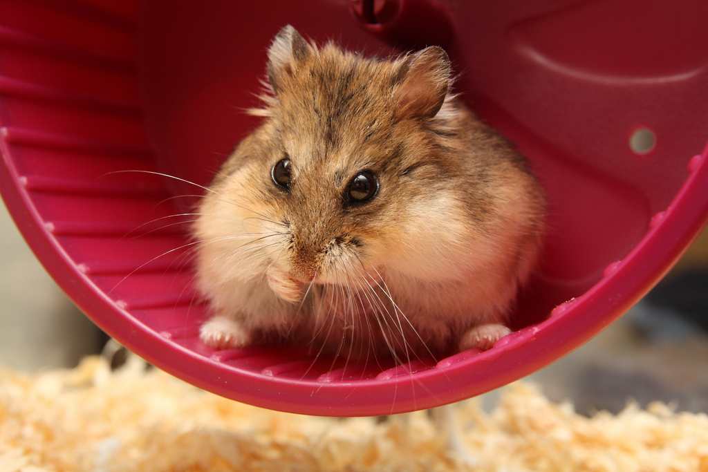most breeders sell the hamsters to shops when the hamsters are three ...