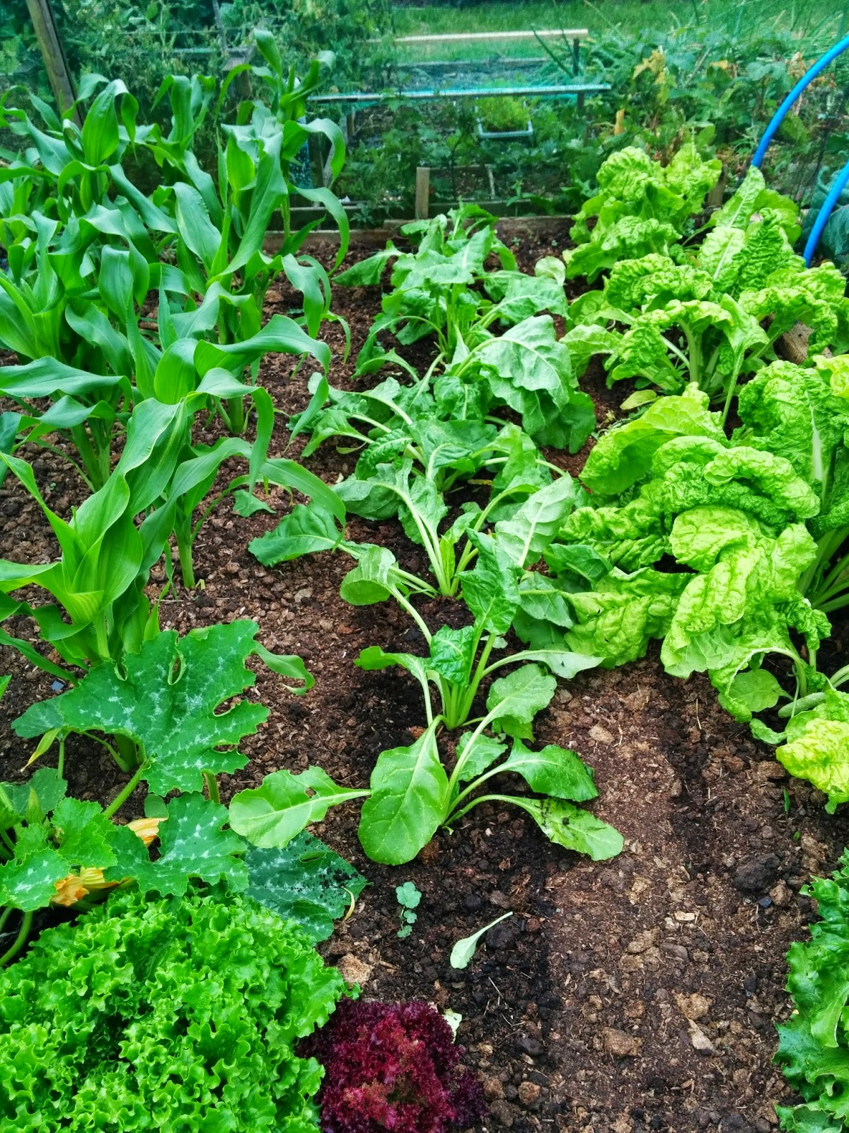 great looking veggies  - 'growourown.blogspot.com' ~ an allotment blog