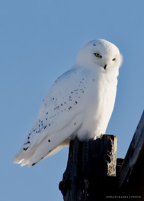 Snowy Owl in Saskatchewan - photo by Shelley Banks