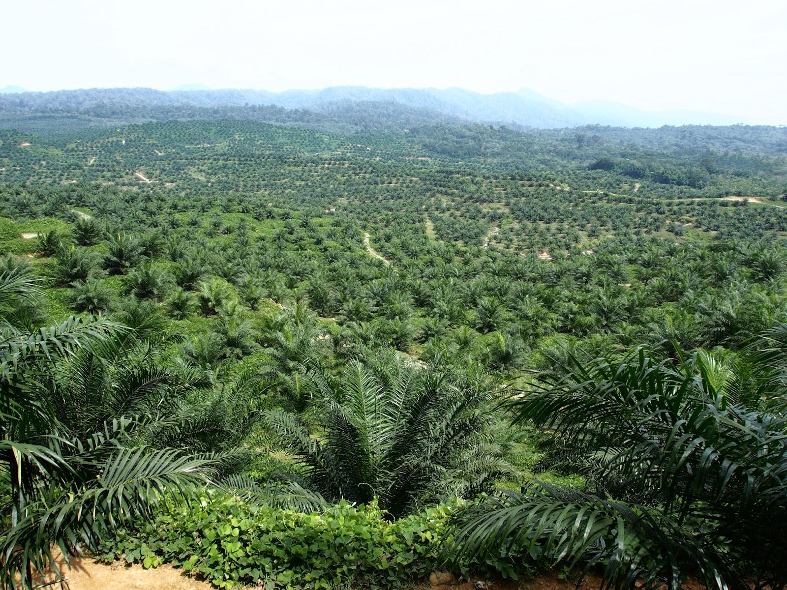palma olejna sumatra