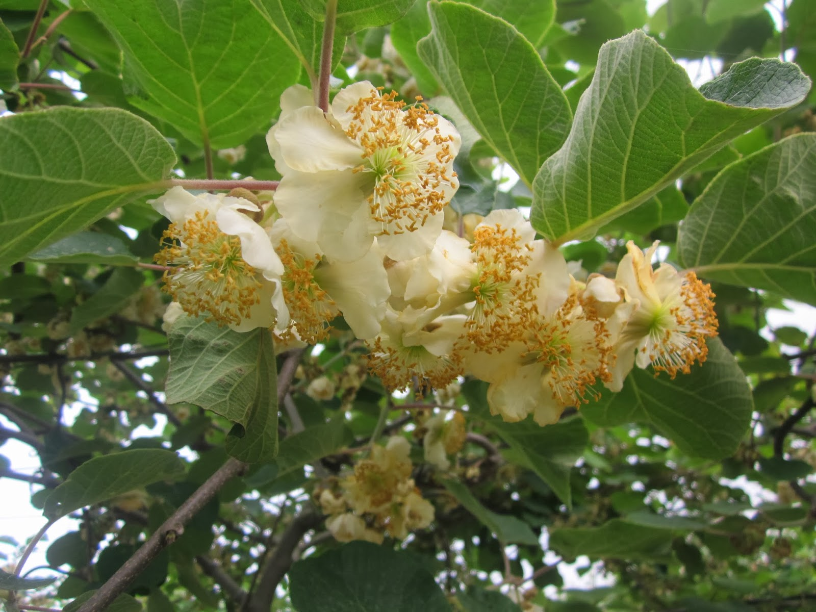Diaries Of An Exiled Persian Kiwi Blossoms In Persia