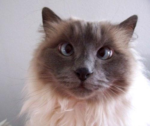 Advantage Cat Flea Medicine Ingredients