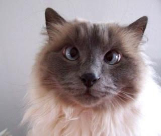 Advantage Cat Flea Treatment Ingredients