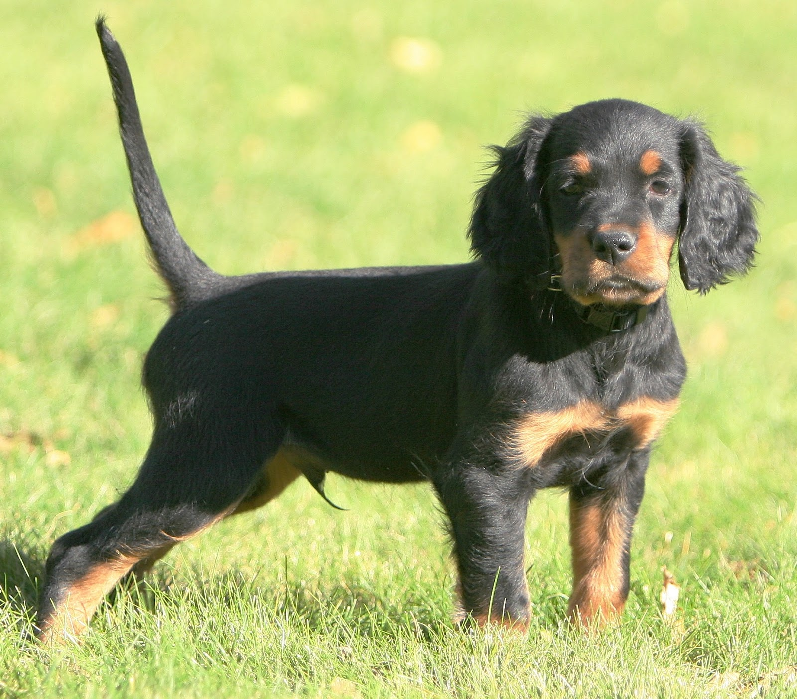 Communication on this topic: How to Identify a Gordon Setter, how-to-identify-a-gordon-setter/