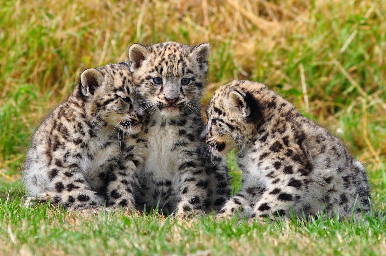 La femmina di leopardo delle navi ha un peso inferiore ai 25 kg