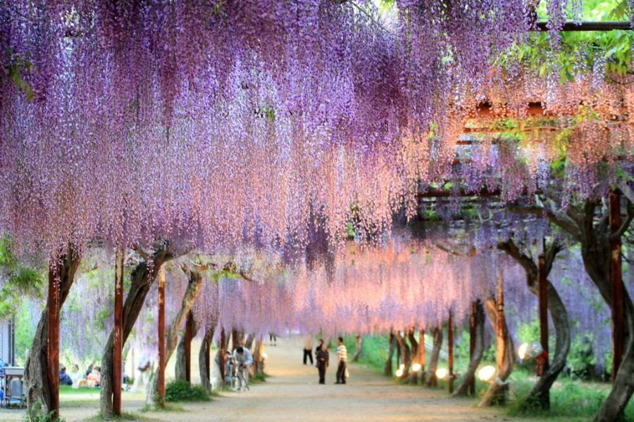 The linosaurus august 2011 Wisteria flower tunnel path in japan