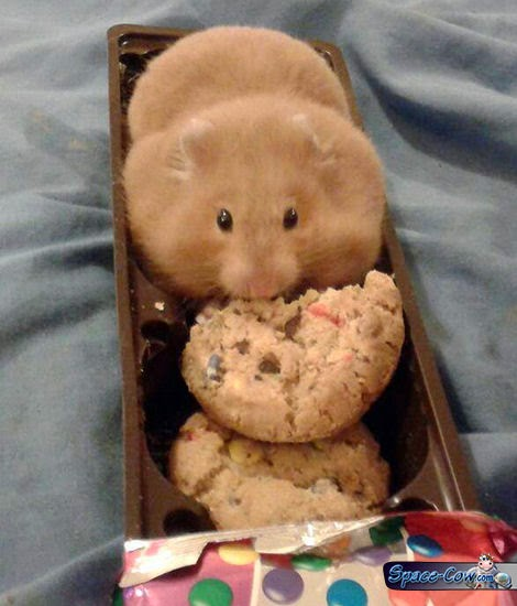 funny fat hamster picture