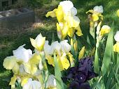 Irises, Irises