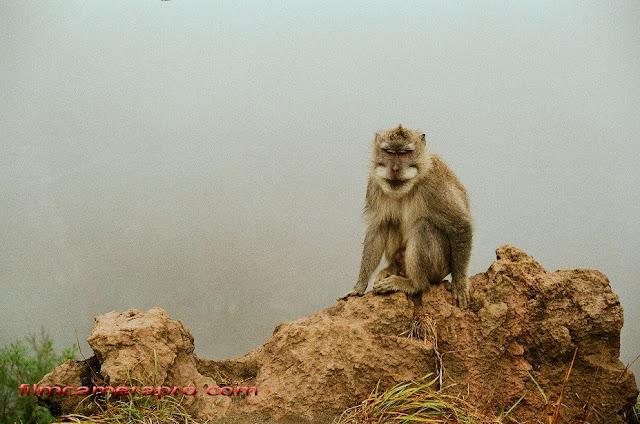 macaque of Batur Bali
