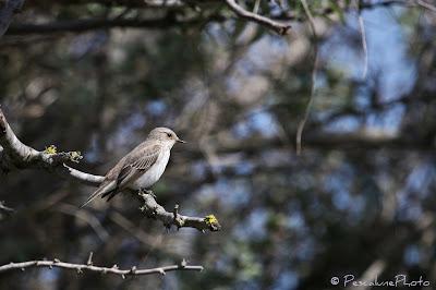 Gobemouche gris (Muscicapa striata), Spotted Flycatcher